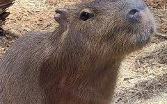 Summer's Most Captivating Trend: Capybaras